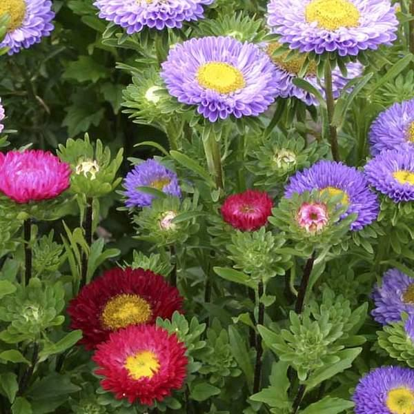 Asters, Sommer- \'Mix\'<br><i>Callistephus chinensis </i>