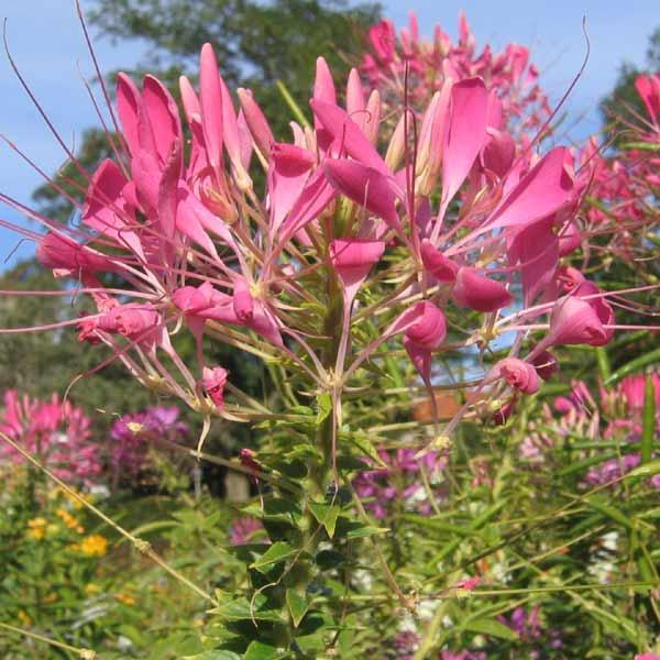 Edderkoppeplante \'Queen Cherry\'<br><i>Cleome spinosa</i>