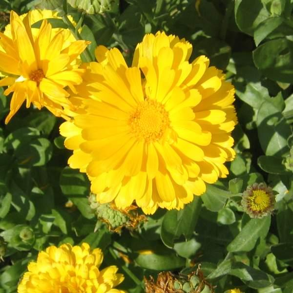Morgenfrue \'Prince Golden\' <br><i>Calendula officinalis </i>