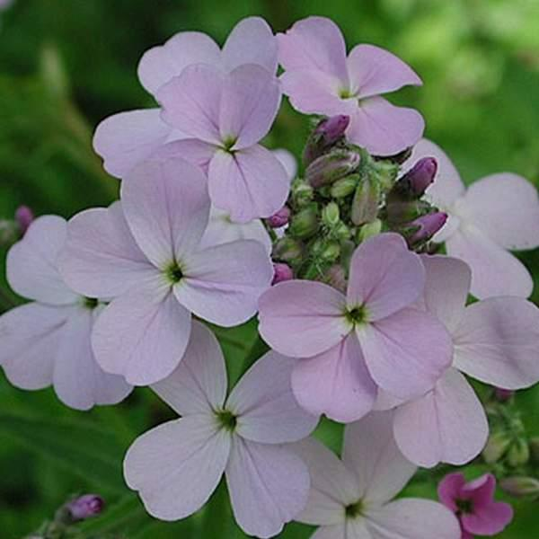 Natviol, Velduftende aftenstjerne <br>\'Mix\' - <i>Hesperis matronalis </i>