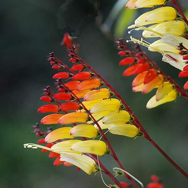 Spansk Flag \'Exotic Love\'<br><i>Ipomoea lobata </i>